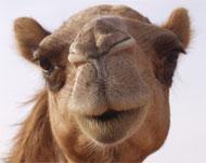 camel sex
